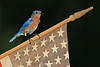 Star spangled bluebird