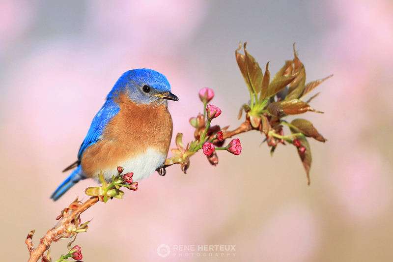 Bluebird n' blossoms