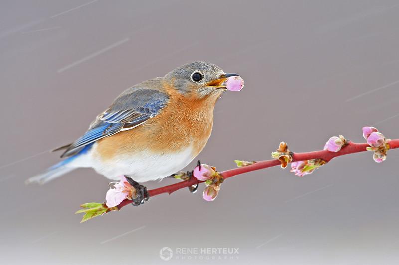 Female bluebird eating blossom in snow