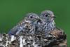 Aw, cute bluebird babies