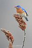 Eastern bluebird on sumac