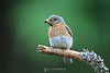 Female bluebird with dinner for babies