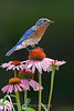 Bluebird on coneflower