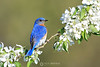Bluebird on crab apple blossoms