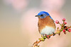 Eastern bluebird on blossoms