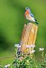 Eastern bluebird (male) on fence post