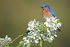 Bluebird on crab apple blossoms
