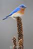 Eastern bluebird on weed