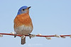 Eastern bluebird on pussy-willow