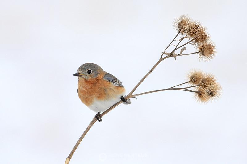 High key female bluebird