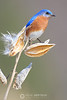 Male bluebird on milkweed