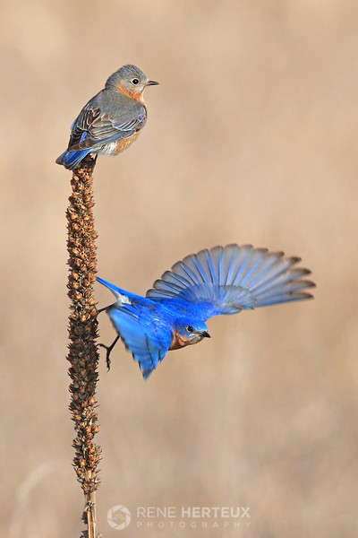 Male and female bluebird on weed