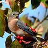#1335  Bluebird (female) in dogwood tree