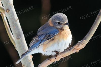 #1159 Bluebird, juvenile