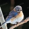 #1159  Eastern Bluebird, juvenile