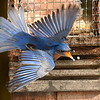 #1436  Eastern Bluebird, m  on suet