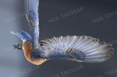 1361  Eastern Bluebird in flight, male