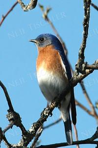 #513  Eastern Bluebird, male