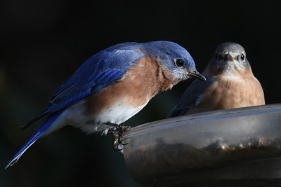 #1537  Bluebird pair at feeder