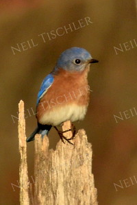 1360  Eastern Bluebird on stump