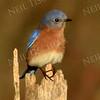 1360  Eastern Bluebird on stump