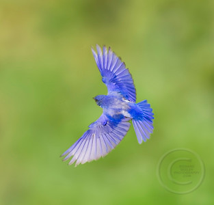 Male Bluebird Braking