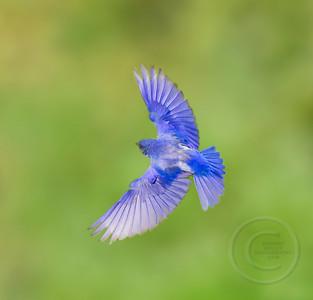 Male Bluebird Braking