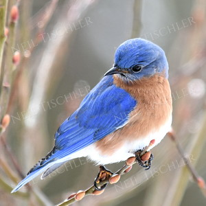 1362   Eastern Bluebird, male