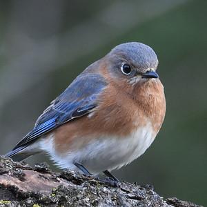 #1593  Eastern Bluebird, female