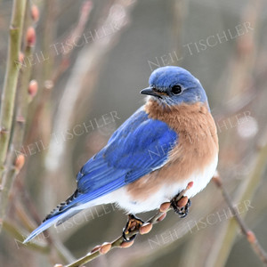 1359  Eastern Bluebird, male