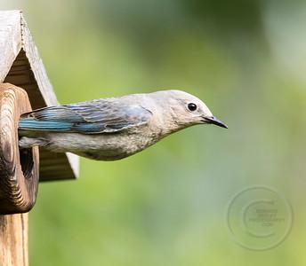 Bluebird Bullet