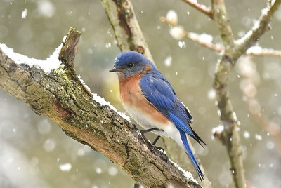 #1571  Eastern Bluebird, male
