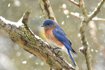 #1571  Eastern Bluebird, male