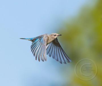 Female Bluebird Braking