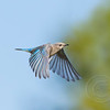 Female Bluebird Braking