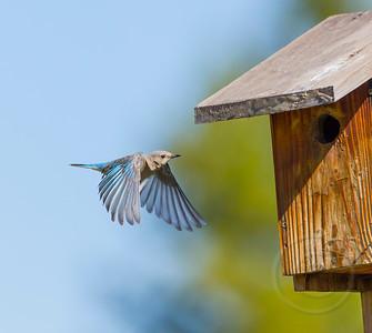 Female Bluebird Braking for Birdhouse