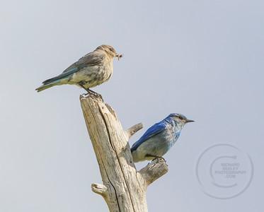 Bluebird Pair Resting