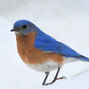 #1425  Eastern Bluebird, m  on snow