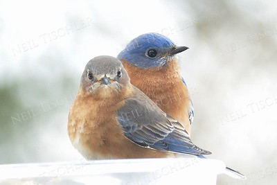 #1123  Eastern Bluebird portrait, pair   at our hanging feeder during winter.