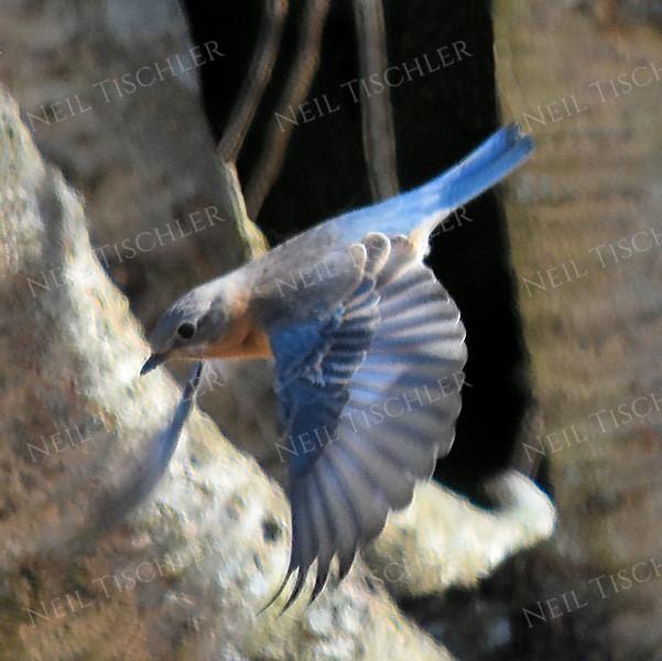 #1165  Bluebird, male, in flight