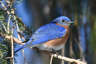 #1435  Eastern Bluebird, male