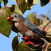 #1334  Bluebird (female) eating dogwood berry