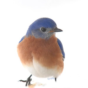 #1548  Bluebird, male, on snow