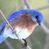 1364   Eastern Bluebird, male