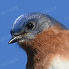 #1166   Eastern Bluebird portrait, male