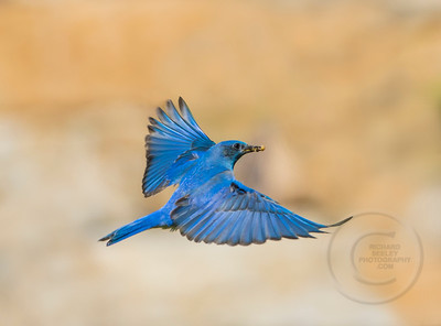 Bluebird Bringing Bounty