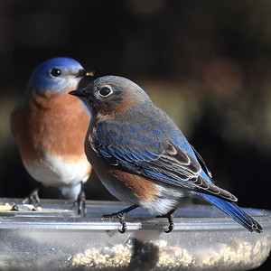 #1570  Eastern bluebird pair