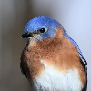 #1526  Eastern Bluebird portrait, male