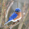 1362b   Eastern Bluebird, male   (larger overall image)