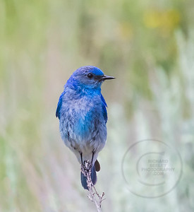 Male Bluebird on Alert